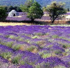 LavenderLandscape