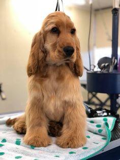 Puppy Stages, Best Puppies, English Cocker Spaniel, Spaniels, New Puppy, Dog Breeds, Horse Breeds