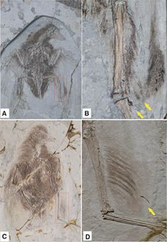 First fossils of four-winged birds identified - Confuciusornis & Cathayornis