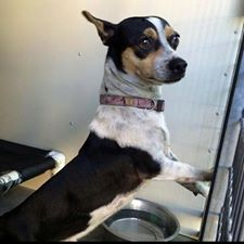 #A474563 Release date 10/23 Male, Rat Terrier mix-Approx 2 years    City of San Bernardino Animal Control-Shelter. https://www.facebook.com/photo.php?fbid=10203775416083447&set=a.10203202186593068&type=3&theater
