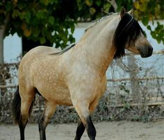 dappled buckskin spanish horse andalusian