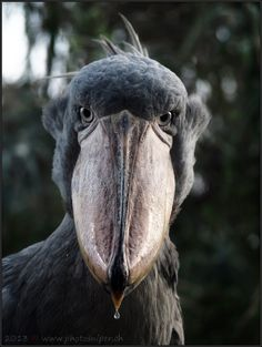 shoebill with dropping nose