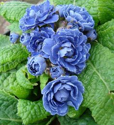 Full size picture of English Primrose 'Blue Sapphire' (Primula vulgaris)