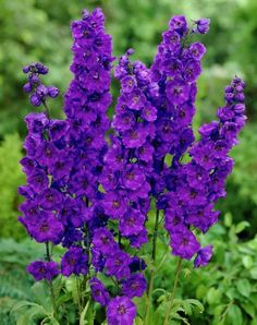 Larkspur reaches a height of 1 - 4 feet. Larkspur thrives in full sun. Larkspur prefers fertile and well-drained soil. Growing Flowers, Dried Flowers, Purple Flowers, Planting Flowers, Flowers Garden, Summer Flowers, Colorful Flowers, Lotus Flowers, Flowering Plants