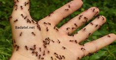 Homemade Natural Ant Repellent Ingredients 30 drops clove essential oil 30 drops peppermint essential oil 4 oz water Directions Mix essential oils and water in a spray bottle. Spray anywhere you see ants. Best Pest Control, Bug Control, Ant Bites, Insect Bites, Ant Spray, Ant Problem, Ants In House, Get Rid Of Ants, Rid Ants