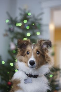 Sheltie's first Christmas
