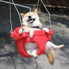 ブランコを楽しむ柴犬うにちゃんがかわいすぎて幸せ