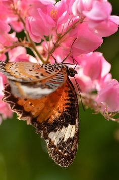 ~Lacewing Butterfly~