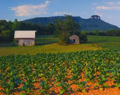 NORTH CAROLINA: Tobacco | Patriotism In All 50 States  North Carolina accounts for more than 70% of America's tobacco production. Pictured above is a Carolina tobacco field with a view.