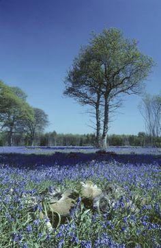Alstroemeria Ben Gardens