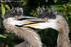 Blue heron siblings in the nest