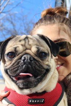 I Quit My Job to Manage My Dog-Doug the Pug