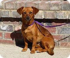 Lathrop, CA - Beagle/Dachshund Mix. Meet Blossom, a dog for adoption. http://www.adoptapet.com/pet/14127813-lathrop-california-beagle-mix