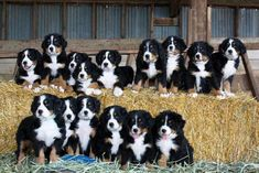 A large litter of adorable Bernese pups...what I always want to know is HOW do you get that many puppies to sit still for even one nano-second?! #BerneseMountainDog