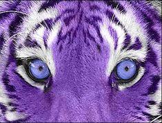 Who likes purple and who like tigers? Its a purple tiger! Purple Love, Purple Rain, All Things Purple, Shades Of Purple, Pink Purple, Purple Stuff, Purple Candy, Purple Hues, Animals Beautiful