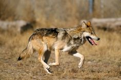 White Wolf: 10 Facts about Mexican Gray Wolves.