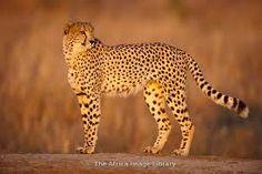 Gepard je nejrychlejší savec světa. Může běžet rychlostí přes 110 km/h. Krátkodobě dokonce až 130 km/h. Má dlouhé a štíhlé  tělo. Je jediný z kočkovitých šelem, který nemá zatažitelné drápy. Gepardi jsou stvořeni pro rychlý běh. Mají neobyčejně ohebnou páteř, která při běhu slouží jako pružina. Gepardi kořist vyhledávají zrakem. Potom se snaží připlížit se co nejblíže, teprve pak rychle vyrazí.Gepard je nejúspěšnější samotářský lovec, až 70 % jeho loveckých pokusů končí úspěchem.
