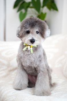 I love HOKU's haircut♡ #toypoodle #silverpoodle #haircut