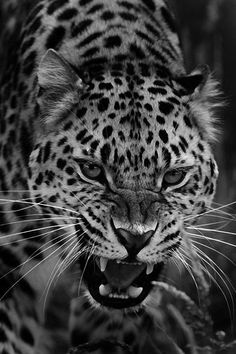 Big Cats, Cute Cats, Cats And Kittens, Leopard Tattoos, Animal Tattoos, Beautiful Cats, Animals Beautiful, Animals And Pets, Cute Animals
