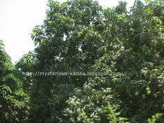 Took this picture in June 2007, from a moving car. So the picture is not as clear as I would have liked. But the sight was just beautiful. There were mango trees all along the road, and every single tree was full of mangoes!