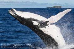 humpback whale fin에 대한 이미지 검색결과