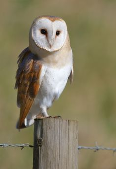 Barn owl by Mike McKenzie**