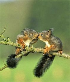 Squirrel hey come here. Squirrel What is it? Squirrel *whispers* Come closer. Squirrel ok. Squirrel Do you l know the muffin man? Nature Animals, Animals And Pets, Wild Animals, Artic Animals, Cute Baby Animals, Funny Animals, Animals Kissing, Cutest Animals, Baby Squirrel