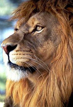 lion face - Google Search
