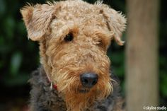 Love Airedales, even though I don't own one!