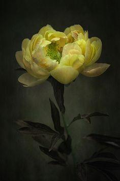 Beautiful Peony, photograph by Clint Hudson on Peony Flower, My Flower, Flower Art, Yellow Peonies, Yellow Flowers, Amazing Flowers, Beautiful Flowers, Beautiful Things, Floral Photography