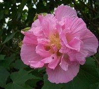 Confederate Rose Hibiscus Picture