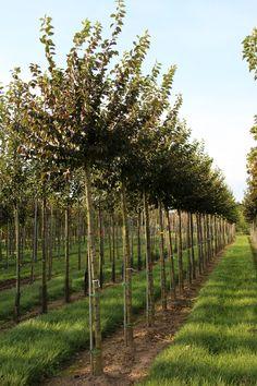 Prunus x subhirtella 'Autumnalis Rosea' high-stem
