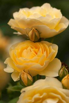 . Graham Thomas. This gorgeous deep yellow English shrub rose is resistant to black spot, mildew and rust, and blooms repeatedly from early summer on. Its a vigorous grower (up to 7 feet tall) and has a sweet honey fragrance. It also boasts excellent heat tolerance and is perfect for zones 4 to 9.