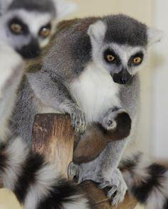 baby maki dierenpark amersfoort