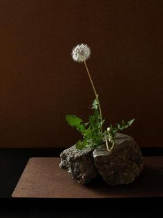 Companion- Dandelion / concrete piece- Seeds flew away with his spring fill the spring of next year to land