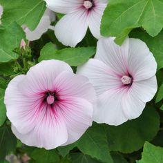 SOMMARMALVA 'Dwarf Pink Blush' i gruppen Ettåriga blomsterväxter hos Impecta Fröhandel (8935)