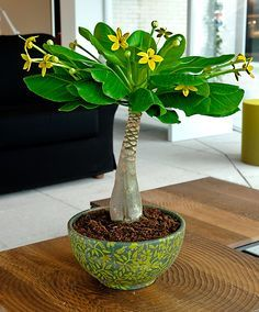 The Hawaiian palm (Brighamia insignis) is a very unusual and decorative house plant. New leaves form in the crown and the older, lowermost leaves turn yellow and wither. Very few of these plants still remain in their natural habitat in Hawaii.