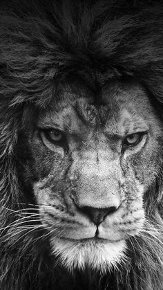 ideas tattoo lion king leo animals - Big cats - Animal world Lion King Animals, Majestic Animals, Animals Beautiful, Lion Live Wallpaper, Wild Animal Wallpaper, Lion Wallpaper Iphone, Emoji Wallpaper, Lion Images, Lion Pictures