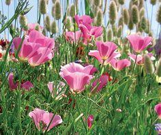 "Eschscholzia californica ""Purple California Poppy"""