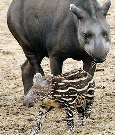 """""""There is eternal influence and power in motherhood."""" ― Julie B. Beck. [Baird's Tapir. #Endangered. Pinned by PartyTalent.com]"""