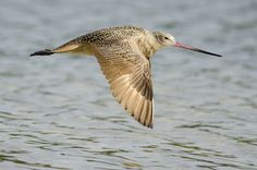Marbled Godwit in Flight | Flickr - Photo Sharing!
