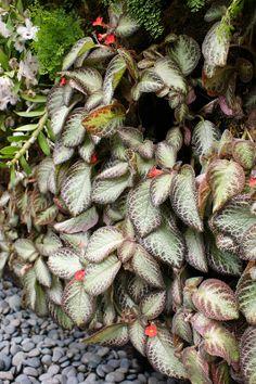 Episcia (Flame violet) (Gesneriaceae) (1)