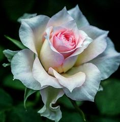 Timeless Treasures by Tracy, Beautiful Rose Flowers, Flowers Nature, Exotic Flowers, Amazing Flowers, Beautiful Flowers, Rosa Rose, Flower Wallpaper, Pink Roses, Flower Art