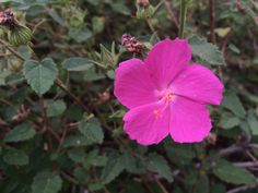 Rockrose // a pretty and tough pink flowering shrub.