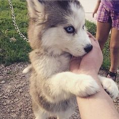 Cute   Unknown #dog #dogs #husky #puppy #pup #eyes #instagood #dogs_of_instagram #pet #pets #animal #animals #petstagram #petsagram #dogsitting #photooftheday #dogsofinstagram #ilovemydog #instagramdogs #eye #dogstagram #dogoftheday #lovedogs #lovepuppies #huskypuppy #adoreble #doglover #instapuppy #instadog