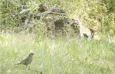 Wild Wood en Provence: blackbirds and a dog