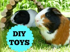 The Guinea Pigs DIY Toys! Repinned by your friends at SuperHumanNaturals.com