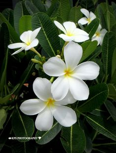 "500px / Photo ""Frangipani Flower ........."" by P.S Kavya"