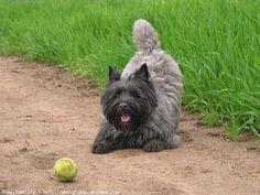 cairn terrier qui joue