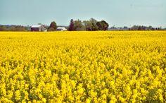 Indiana. Mustard field.
